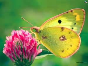 yellow-butterfly.jpe